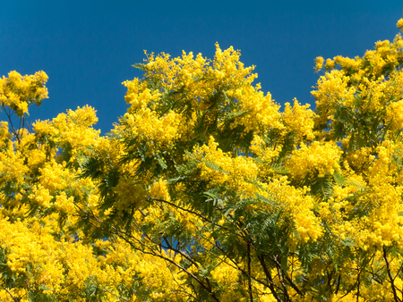 Mimosa or silver wattle yellow spring flowers tree on the vibrant blue sky background