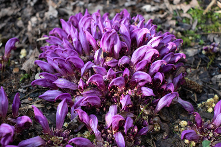 Flowers of Lathraea clandestina or purple toothwort in the spring forest