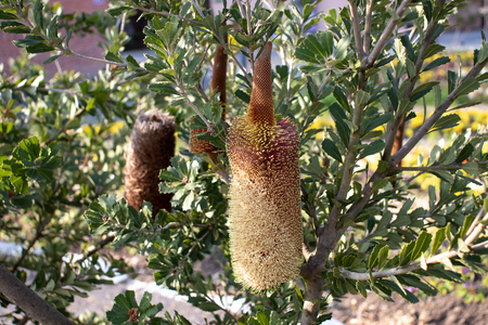 Banksia praemorsa flowering plant. Cut-leaf banksia vertical woody spikes