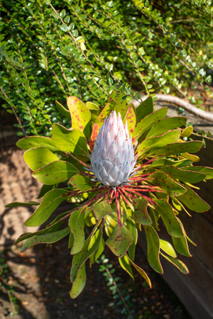 Protea cynaroides bloom. National flower of the South Africa.