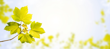 Maple tree branch with young leaves on the spring blurred garden sky horizontal background