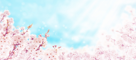 Cherry tree spring pink flowers on the blurred blue sunny background. Sakura blossom. Stock Photo