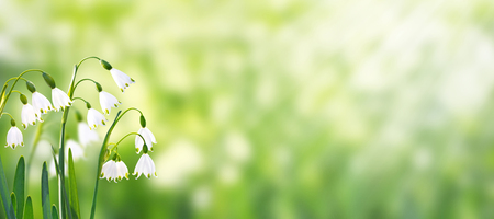 White snowdrop or galanthus flowers on the spring blurred garden horizontal background Imagens - 124001615