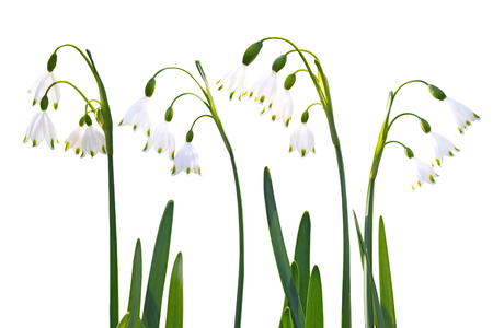 Snowdrop or galanthus spring flowers set isolated on white Imagens - 123899334