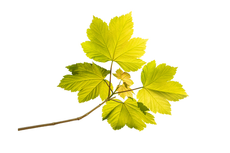 Maple branch with fresh green leaves isolated on white Stock Photo