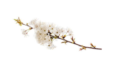 Cherry tree spring branch with white flowers. Sakura blossom isolated on white.
