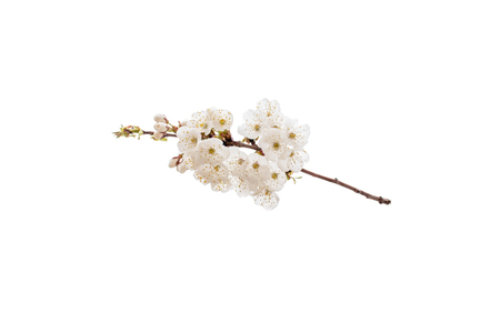 Cherry tree spring branch with white flowers. Sakura blossom isolated on white. Imagens - 123899338