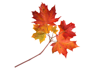 Canada maple branch with autumn red leaves isolated on white