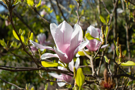 Pink magnolia iliiflora flowers at the blurred sunny garden background