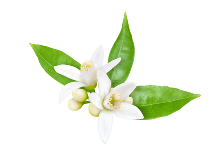 Orange tree white fragrant flowers, buds and leaves isolated on white. Neroli blossom. Standard-Bild - 124001624