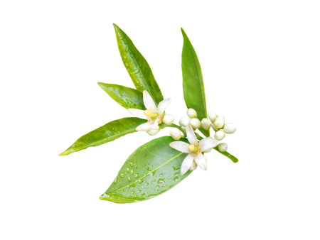 Neroli blossom. Orange tree branch with white fragrant flowers, buds and leaves isolated on white.