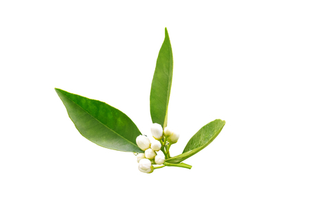 Orange tree flowers buds and dark green foliage after spring rain isolated on white. Neroli blossom. Azahar parfum flowering.