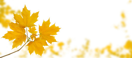 Maple tree branch with yellow autumn leaves on the fall blurred park horizontal background isolated on white 版權商用圖片