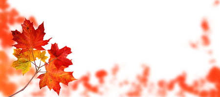 Canada maple tree branch with red autumn leaves on the fall blurred park horizontal background isolated on white 版權商用圖片