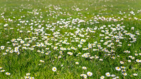 Green grass lawn with white daisy flowers spring blurred background 版權商用圖片