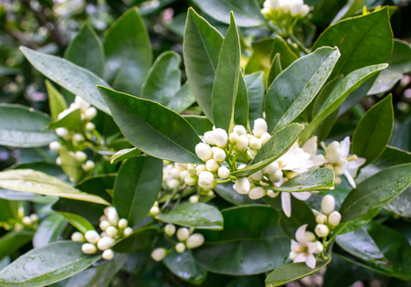 Orange tree white fragrant flowers and buds and dark green foliage after spring rain. Neroli blossom. Azahar parfum flowering.