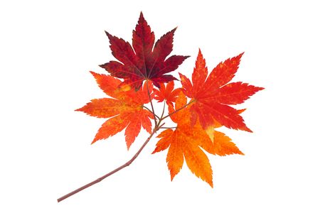 Japanese maple branch with autumn red leaves isolated on white