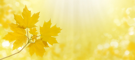 Maple tree branch with yellow leaves on the autumn blurred garden sky horizontal background