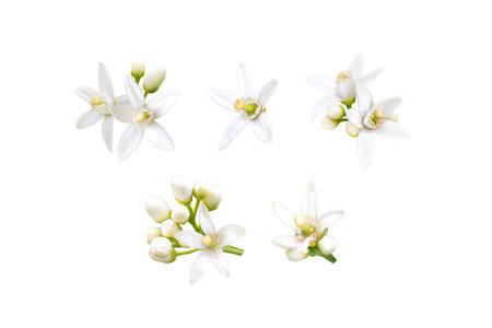 Flor de neroli. Conjunto de capullos y flores fragantes blancas de naranjo aislado en blanco. Foto de archivo