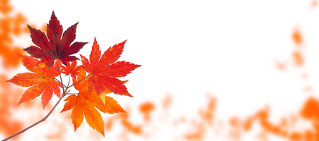 Japanese maple tree branch with red autumn leaves on the fall blurred park horizontal background isolated on white Imagens - 124001632
