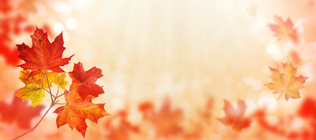 Canada maple tree branch with red and orange leaves on the autumn blurred park horizontal background 写真素材