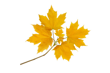Maple tree branch with autumn yellow leaves isolated on white 写真素材