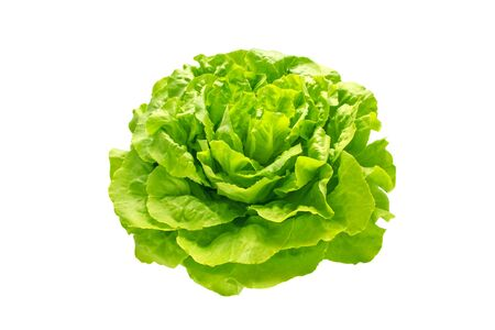 Green trocadero lettuce salad head isolated on white