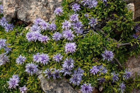 Globularia repens flowering plant covering stone on the mountain meadow. Light violet alpine flowers. 写真素材