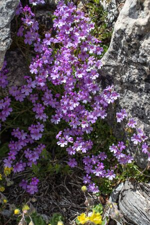 Erinus alpinus, the fairy foxglove, alpine balsam, starflower or liver balsam flowering plant among the stones on the alpine weadow. 版權商用圖片