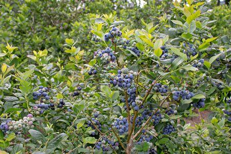 Ripe blueberry fruits on the plantation. Abundance of berries on the bush. High yielding northern highbush variety.