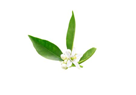 Neroli flowers and buds and green foliage after spring rain isolated on white. Orange tree blossom. Azahar parfum flowering.