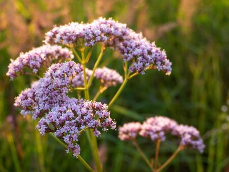 Valeriana officinalis flowers at sunset. Summer meadow flora. Medicinal plant. 写真素材
