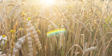 Wheat field at sunset. Yellow mature hanging ears of cereal and camomile flowers .  Rainbow highlight. Summer background.  写真素材