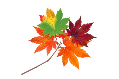 Japanese maple branch with autumn red, orange and green leaves isolated on white
