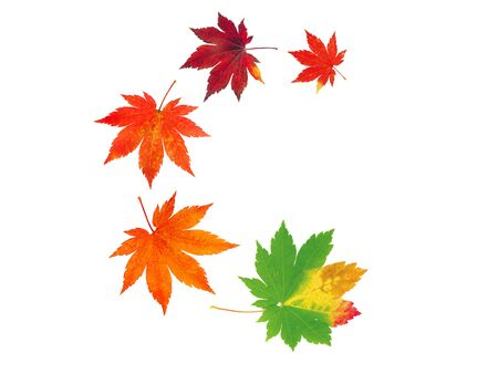 Spiral flying heap of japanese maple tree colorful autumn leaves isolated on white
