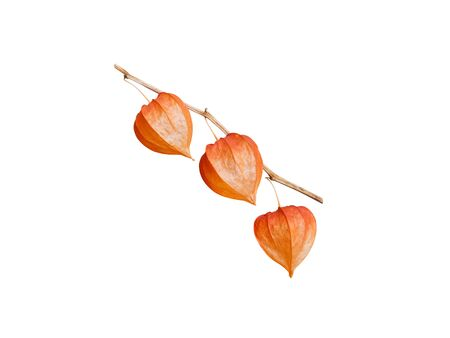 Physalis branch isolated on white. Chinese lantern. Bright orange dry fruits husk. 写真素材
