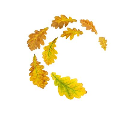 Spiral flying heap of oak yellow and brown autumn leaves isolated on white