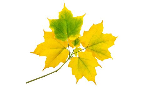 Maple branch with autumn yellow green leaves isolated on white