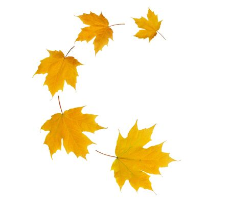 Spiral flying heap of maple tree yellow autumn leaves isolated on white