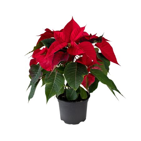 Poinsettia in the pot isolated on white. Christmas Eve flower. Flor de Pascua. Red euphorbia pulcherrima plant.