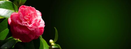Pink camellia japonica peony form flower and leaves in the corner of the dark long horizontal background. Japanese tsubaki.