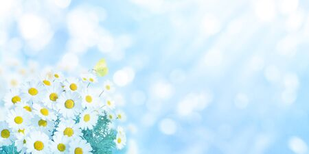 Daisy white yellow flowers and butterfly on the blue blurred background Banco de Imagens