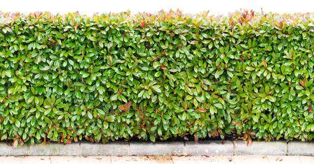 Green bush hedge long horizontal seamless border. Photinia fraseri plants row isolated on white. Banco de Imagens