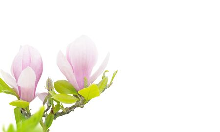Pink magnolia liliiflora flowers in the corner isolated on white