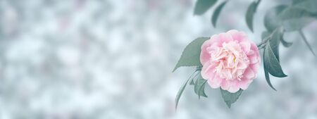 Pale pink camellia japonica peony form flower and leaves in the corner of the long horizontal background. Japanese tsubaki. Toned image.