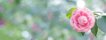 Pale pink camellia japonica rose form flower and leaves in the corner of the long horizontal background. Japanese tsubaki. Toned image.