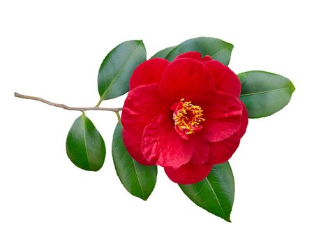 Red camellia semi-double form open flower and leaves isolated on white. Japanese symbol of love.