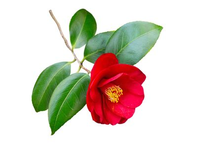 Red camellia japonica semi-double form flower and leaves isolated on white. Japanese tsubaki. Chinese symbol of love.