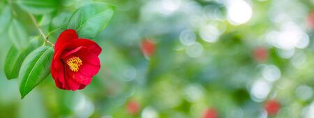 Red camellia japanese semi-double form flower and leaves in the corner of the long horizontal background.  Banco de Imagens