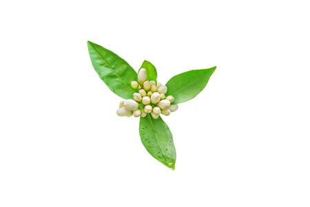 Neroli flowers buds and green foliage with rain drops isolated on white. Orange tree blossom.